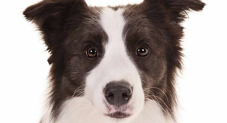 hyper dog breeds - Border Collie