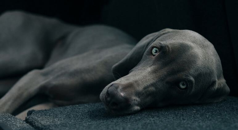 depression in dogs interest