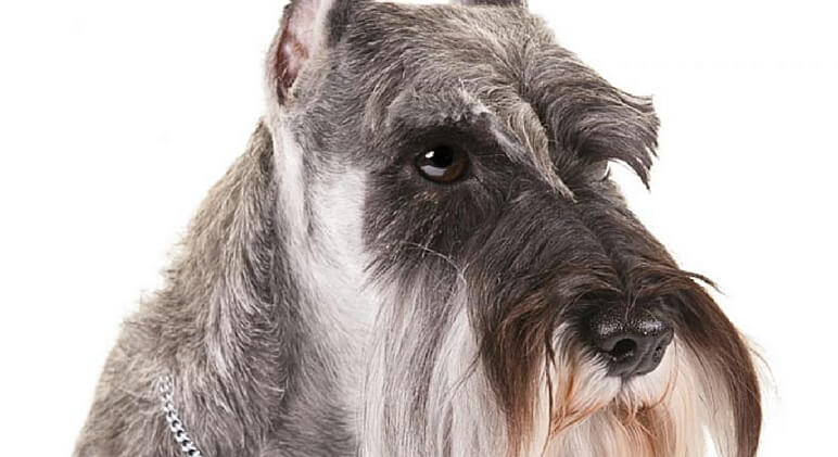 dogs that don't shed 11