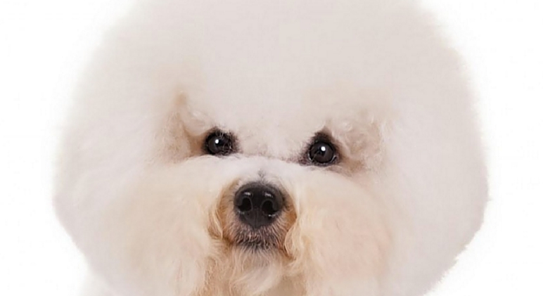 11 Dog Breeds That Don T Shed