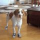 dogs in shoes