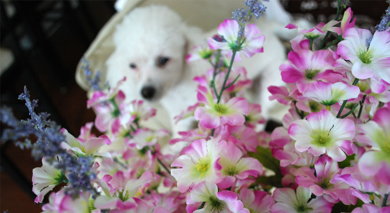 certain-flowers-are-toxic-to-dogs