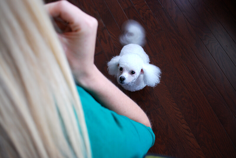 dognition-assessment-eye-contact
