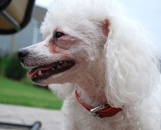 Do you struggle to keep your dog's eyes clean? Find out what causes dog tear stains. Plus, get natural prevention and treatment tips!