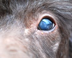 Are you beginning to notice changes to your dog's eyes? Find out five common conditions that can cause blue and/or cloudy eyes in dogs.