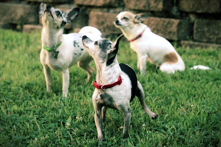 The Chihuahua is the second most euthanized dog breed in the U.S. Often times, it's because the family doesn't know how to deal with their big personality.