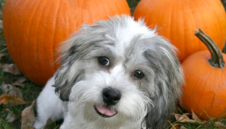 Along with the beauty of fall comes some potential fall hazards that all pet parents should be aware of. Find out the top 7 things to watch for.