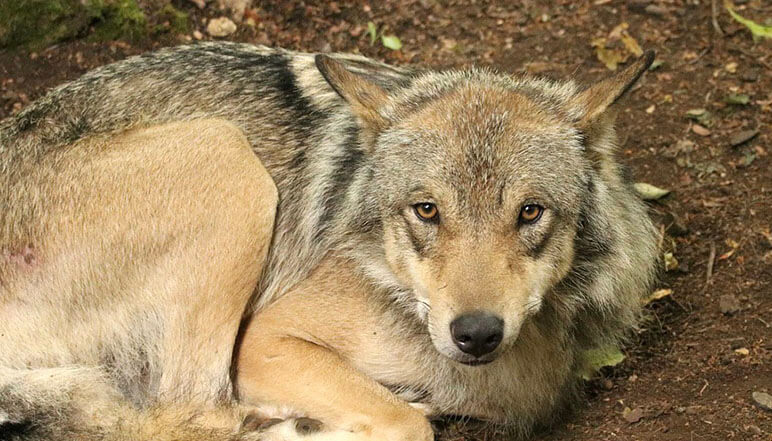 Can A Wolf Lie With A Dog