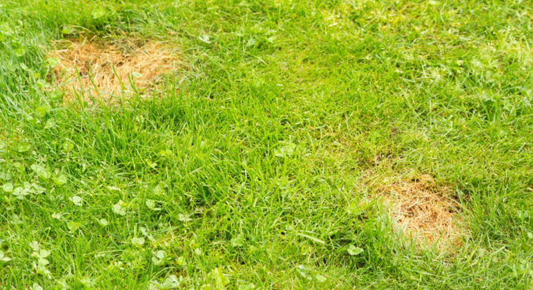 Ever notice patches of burned grass in your yard? Find out the 3 main reasons dog urine can have this impact on your lawn. Plus, 8 tips to protect it.