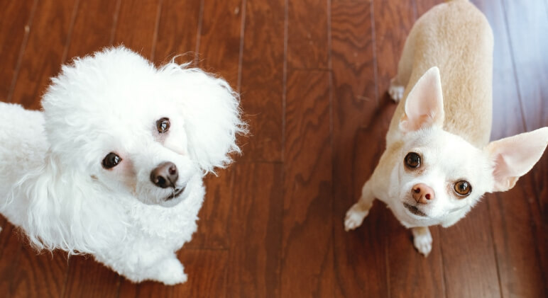 No matter how long our dogs are with us, their life spans aren't nearly as long as we wish they would be. Read on for 11 dog breeds that live the longest!