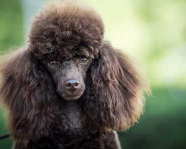 If you're allergic to dogs, you're not alone. But, that doesn't mean you're home has to be be pup-free. Read on for a list of 12 hypoallergenic dog breeds.
