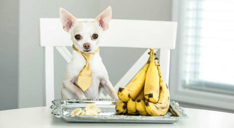 Bananas are delicious, tummy-filling, and loaded with beneficial nutrients. Now the big question is: Can dogs eat bananas? Find out!