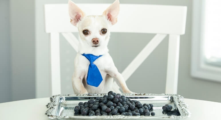 Packed with antioxidants, vitamins, and minerals, blueberries are one of the most nutrient-dense berries. But, can dogs eat blueberries? Find out!