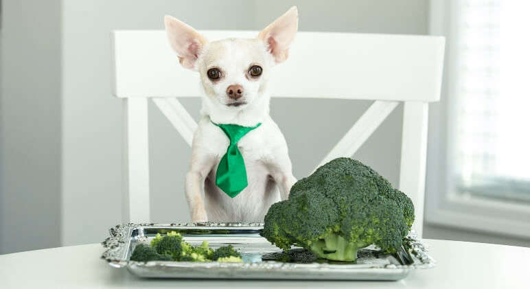 Broccoli is a low-calorie, nutrient-dense, cruciferous vegetable. While it's clear this green veg is great for us humans, can dogs eat broccoli? Find out!