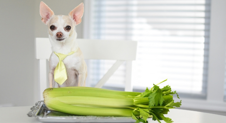 Celery isn't only a refreshing bite, it's also super healthy! While it's clear this veg is great for people, today's question is: Can dogs eat celery?