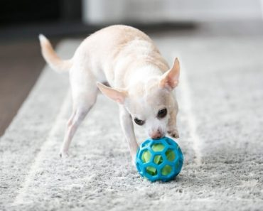 Our canine kids certainly love to play with toys. As you swing by your pet store in search of new dog toys, here are some things to consider!