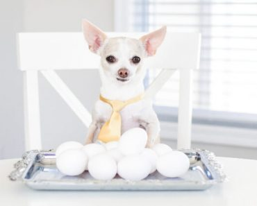 Jam-packed with protein, eggs are an easy-to-make morning meal that quickly fills up our tummies and leaves us fueled. But can dogs eat eggs too? Find out!