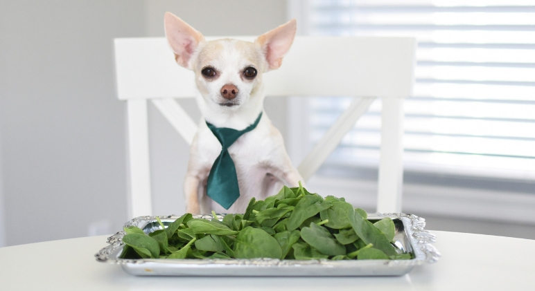 Does spinach usually earn a spot on your grocery list? If so, you may have questioned: Can my dogs eat spinach too? Find out!