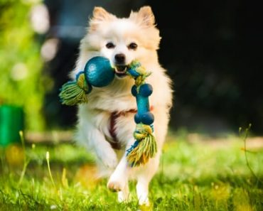 Does your dog take his toys and shake them from side-to-side in his mouth? What about when you play tug-of-war? Does he do it then too? Find out why!