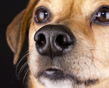 There are several reasons why a dog's nose is wet or dry. Find out the main causes of a moist nose. Plus, why some dogs experience dryness and cracking.