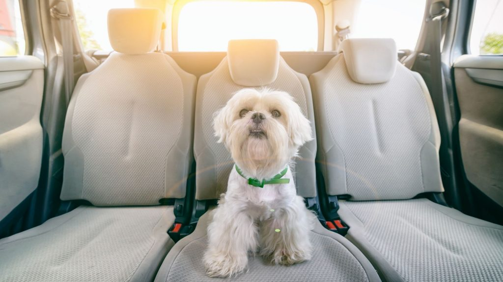 Does your dog suffer from car sickness? Read on to find out the common causes, top stymptoms, and tips to curb that queasy tummy.