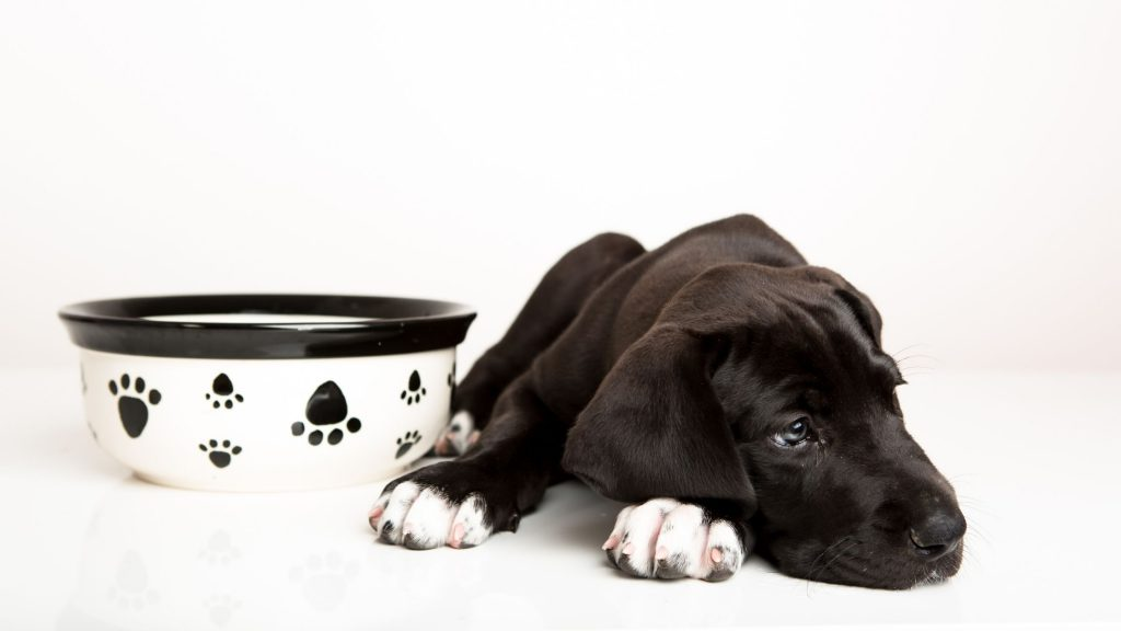 Does your dog turn his snout up at his dinner? Find out why your dog may be a picky eater and what you can do about it!