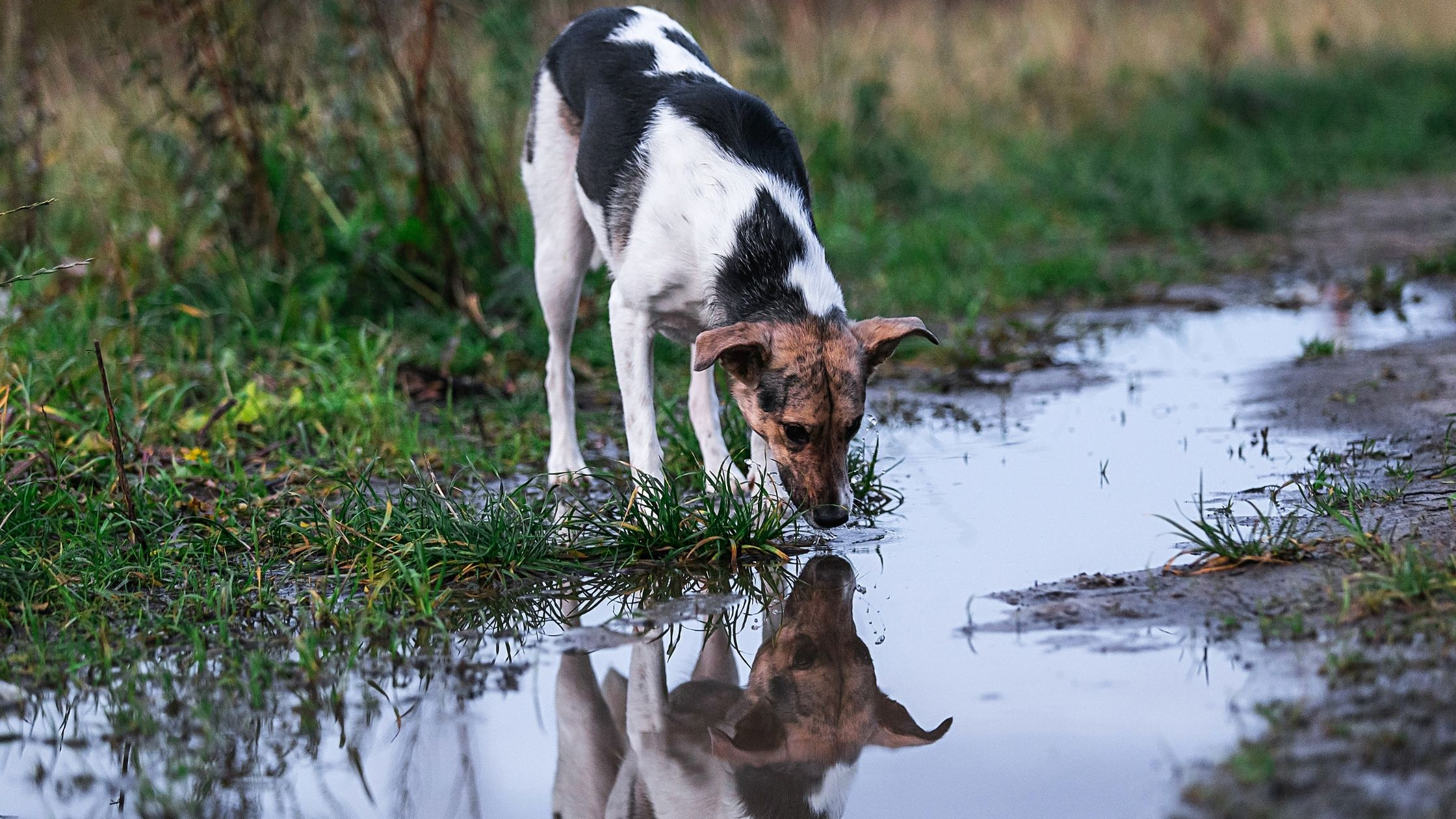 When dogs see puddles, they're often tempted to walk over to it, stick their tongue out, and take a little lick. Find out the hidden hazard.